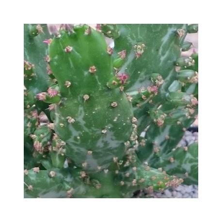 OPUNTIA monacantha v.variegata