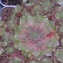 SEMPERVIVUM shirley joy