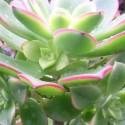 AEONIUM kiwionium