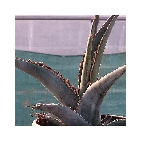 AGAVE kerchovei