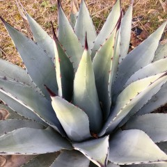 AGAVE parryi v. parryi