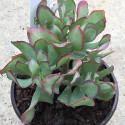 CRASSULA undulatifolia