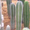 MARGINATOCEREUS marginatus