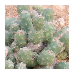 TEPHROCACTUS minor