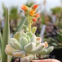 ECHEVERIA pulvinata v. frosty