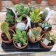 Cactus ou succulentes pot terre 11 cm