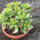 Coupe cactus 16 cm