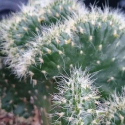 AUSTROCYLINDROPUNTIA cylindrica f. cristata