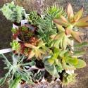 Pack 10 plantes succulentes