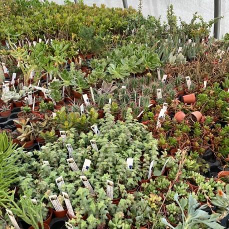 Succulente Pot 5.5 cm