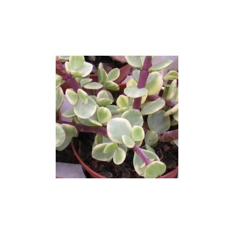 PORTULACARIA afra v. variegata