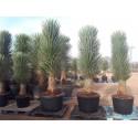YUCCA filifera grosse plante