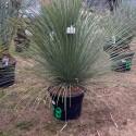 DASYLIRION longissimum grosse plante
