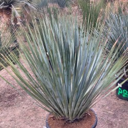 DASYLIRION wheelerii grosse plante