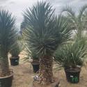 YUCCA filifera multi têtes grosse plante