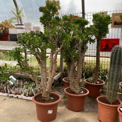CRASSULA ovata grosse plante