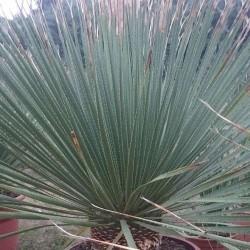 DASYLIRION serratifolium grosse plante