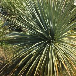 NOLINA nelsonii grosse plante