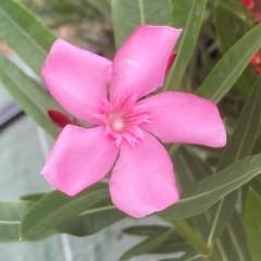 NERIUM oleander Atlas (rose simple)