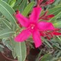 Laurier Rose, NERIUM oleander Italia (Rouge simple)