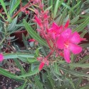 Laurier Rose, NERIUM oleander Papa Gambetta (Rouge simple)