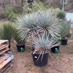 YUCCA rigida grosse plante