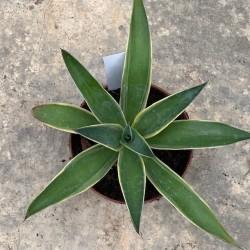 AGAVE desmestiana v. variegata