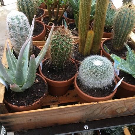 Plantes en pot terre 13 cm