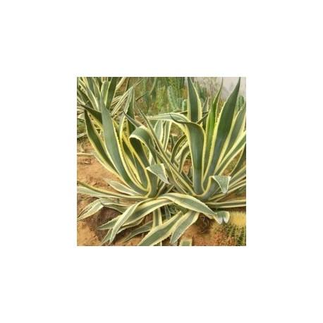 AGAVE americana v. variegata