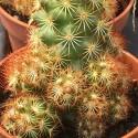 MAMMILLARIA elongata v. rubra