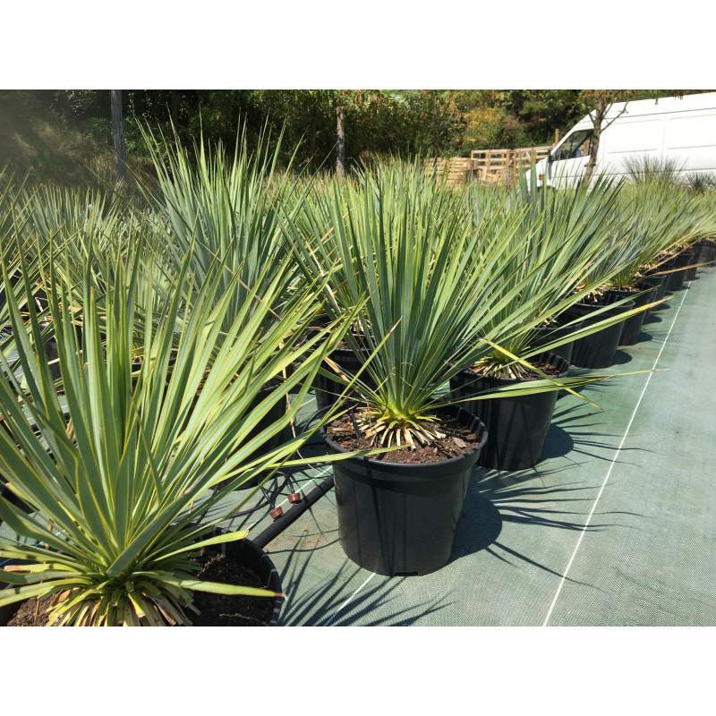 yucca rostrata résiste à -18°c le plus beau des yucca !
