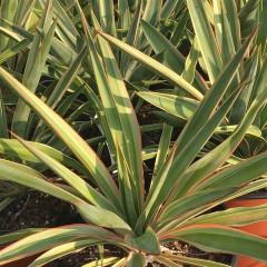 YUCCA gloriosa v. variegata