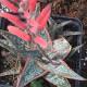 Aloe donnie