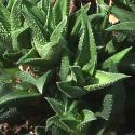 haworthia jacobseniana