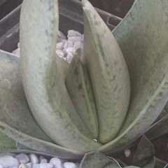 Gasteria gracilis
