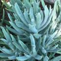 Cotyledon orbiculata var. oblonga 'Takbok'