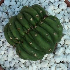 TRICHOCEREUS pachanoi f. cristata