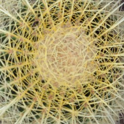 ECHINOCACTUS grusonii grosse plante