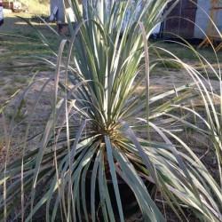 NOLINA longifolia grosse plante