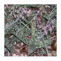 SCILLA violacea