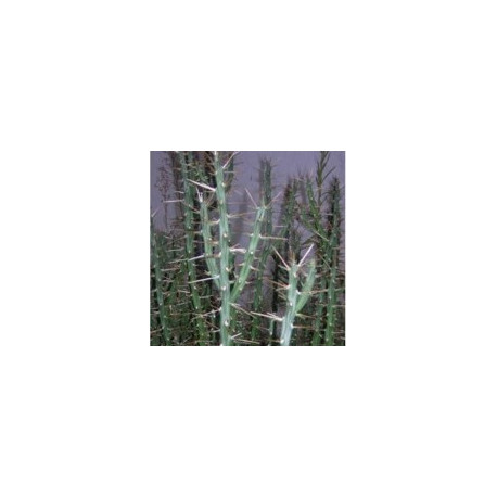 CYLINDROPUNTIA kleiniae