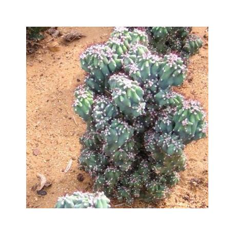 CEREUS peruvianus f. monstruous