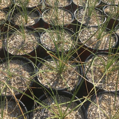 DASYLIRION leiophyllum