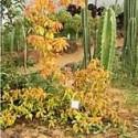 PERESKIA aculeata cv. godssefiana