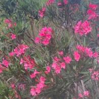 NERIUM (Laurier rose)